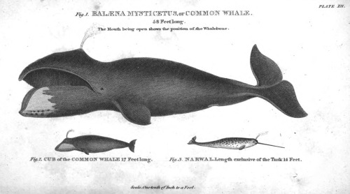 Common_whale_scoresby_account_of_v2